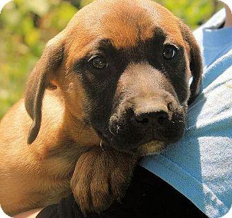 Labrador Retriever Mix Puppy for adoption in Cooperstown, New York - Isabel