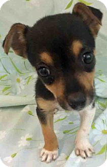 Beagle/Hound (Unknown Type) Mix Puppy for adoption in Gahanna, Ohio - ADOPTED!!  Abagail