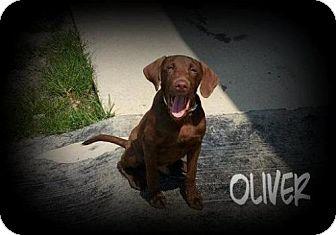 Labrador Retriever Dog for adoption in Greenville, Kentucky - Oliver