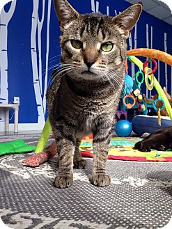 Domestic Shorthair Cat for adoption in Austintown, Ohio - Sally