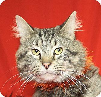Domestic Longhair Cat for adoption in Jackson, Michigan - Blaze