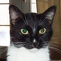 Domestic Shorthair Cat for adoption in Encino, California - HADLEY