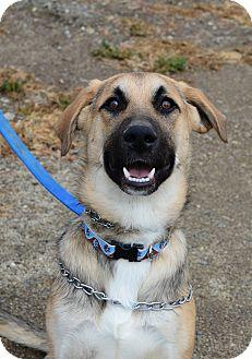 German Shepherd Dog Mix Dog for adoption in Gardnerville, Nevada - Matthias