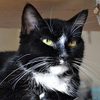 Domestic Shorthair Cat for adoption in Johnson City, Tennessee - Paris