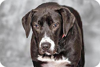Labrador Retriever Mix Dog for adoption in Cashiers, North Carolina - Paisley