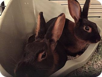Tan Mix for adoption in Waynesboro, Virginia - Bugs and Bunny