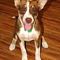 Adopt A Pet :: Piper - Littlerock, CA