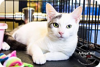 Domestic Shorthair Kitten for adoption in Charlotte, North Carolina - A..  Emily
