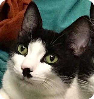 Domestic Shorthair Cat for adoption in Palo Alto, California - Cambridge