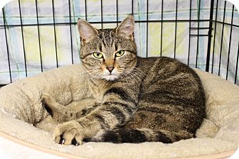Domestic Shorthair Cat for adoption in Warwick, Rhode Island - Penny