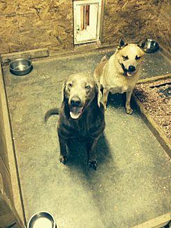 Labrador Retriever/Weimaraner Mix Dog for adoption in Centerville, Indiana - Sterling