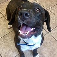 Adopt A Pet :: Desmond 112354 - Joplin, MO