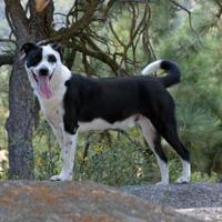 Adopt A Pet :: Bravo - Mountain Center, CA