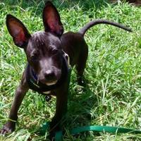 Miniature Pinscher/Boston Terrier Mix Dog for adoption in Baltimore, Maryland - Sonar - PENDING ADOPTION