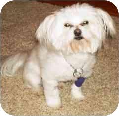 Maltese Dog for adoption in Osseo, Minnesota - Molly