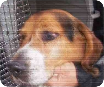 Beagle Dog for adoption in Ventnor City, New Jersey - ALBERT