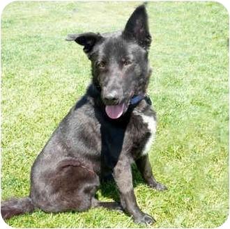 German Shepherd Dog Mix Dog for adoption in San Clemente, California - NIKO