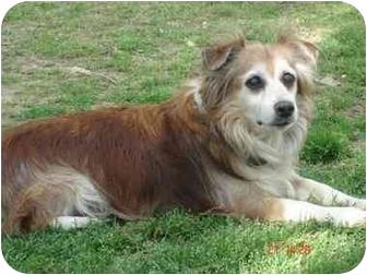 Sheltie, Shetland Sheepdog Mix Dog for adoption in Naugatuck, Connecticut - Brady