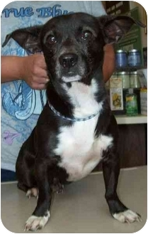 Chihuahua/Dachshund Mix Dog for adoption in North Judson, Indiana - Ollie