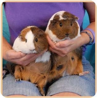 Guinea Pig for adoption in Las Vegas, Nevada - Mamma Mia