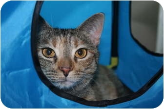 Domestic Shorthair Cat for adoption in Cincinnati, Ohio - Twinkle
