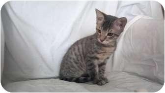 Domestic Shorthair Kitten for adoption in Phoenix, Arizona - Peanut