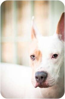 Basenji/Terrier (Unknown Type, Medium) Mix Dog for adoption in Houston, Texas - Vivian