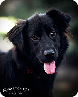 Collie/Labrador Retriever Mix Dog for adoption in Jersey City, New Jersey - BRADLEY COOPER