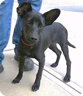 Terrier (Unknown Type, Medium) Mix Puppy for adoption in Remlap, Alabama - Izzy
