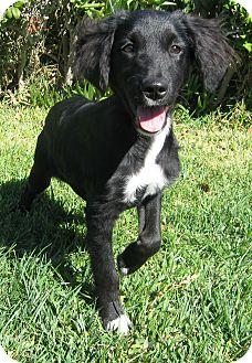Cocker Spaniel/Labrador Retriever Mix Puppy for adoption in Poway, California - BECKY