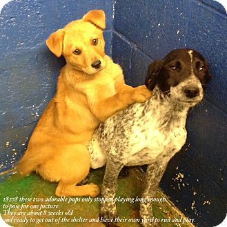 German Shorthaired Pointer Mix Puppy for adoption in Westminster, Colorado - Oreo