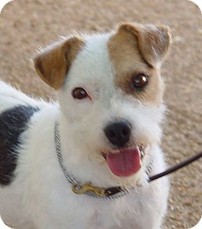 Jack Russell Terrier Dog for adoption in Scottsdale, Arizona - HAMMER