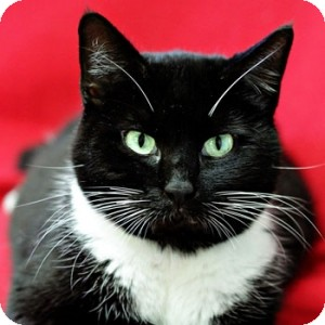 Domestic Shorthair Cat for adoption in Athens, Georgia - Fox