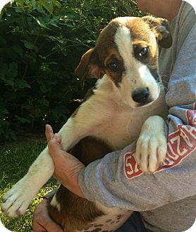 Collie/Boxer Mix Puppy for adoption in East Hartford, Connecticut - Maddie meet me 8/16