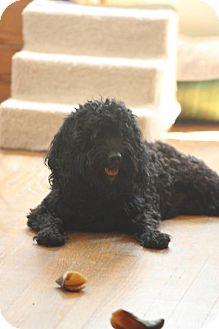 Cockapoo Dog for adoption in Morgantown, West Virginia - Mya