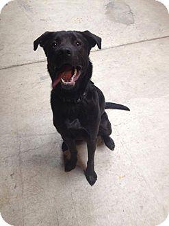 Labrador Retriever Mix Dog for adoption in Flat Rock, Michigan - Rex