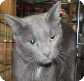 Domestic Shorthair Cat for adoption in Brooklyn, New York - Charcoal