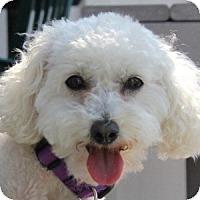 Adopt A Pet :: Abbie Rose - La Costa, CA