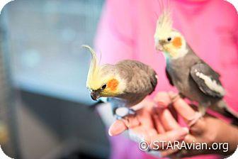 Cockatiel for adoption in St. Louis, Missouri - Homer