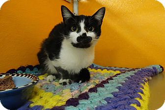 Domestic Shorthair Cat for adoption in Elyria, Ohio - Zena