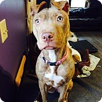 Adopt A Pet :: Beatrix - New York, NY