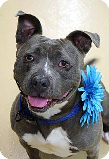 Pit Bull Terrier Mix Dog for adoption in Dublin, California - Blossom