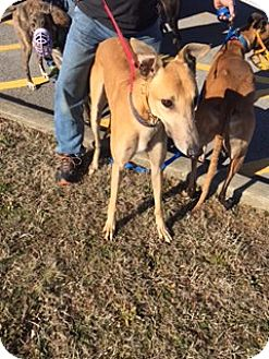 Greyhound Dog for adoption in Knoxville, Tennessee - D Ark Aglow
