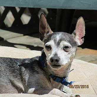 Chihuahua/Miniature Pinscher Mix Dog for adoption in Wapwallopen, Pennsylvania - Snoopy - 12 1/2