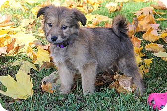 Collie Mix Puppy for adoption in New Oxford, Pennsylvania - Lily