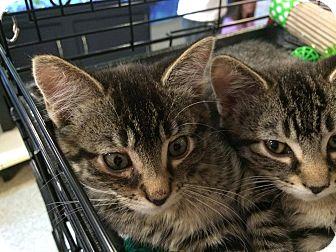 Domestic Shorthair Kitten for adoption in Arlington/Ft Worth, Texas - Boris