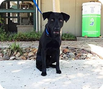 Labrador Retriever Mix Dog for adoption in Lathrop, California - Rocky