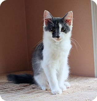 Domestic Mediumhair Kitten for adoption in Morganton, North Carolina - Frankie