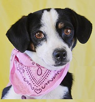Spaniel (Unknown Type) Mix Dog for adoption in Littlerock, California - Princess Leaha