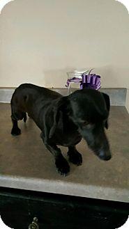 Dachshund Dog for adoption in Urbana, Ohio - Molly Beatty